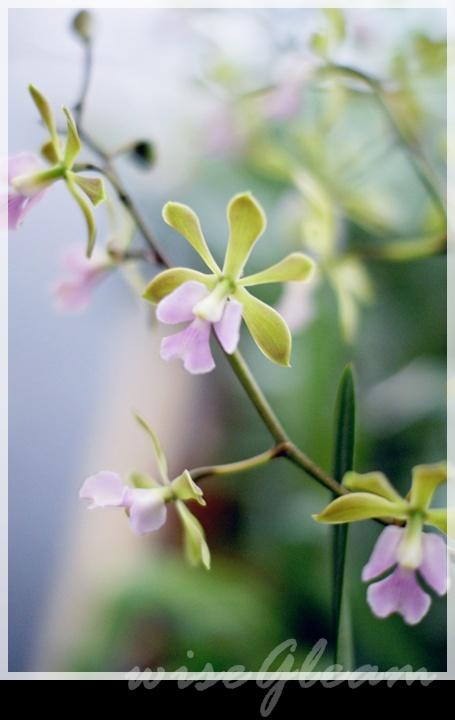 蘭花總是萬紫千紅,這一株很淡雅。