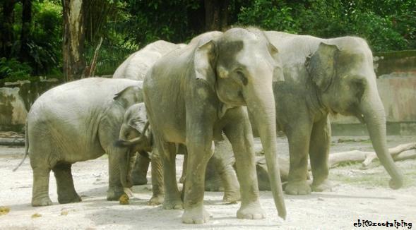 大象 elephant gajah ゾウ