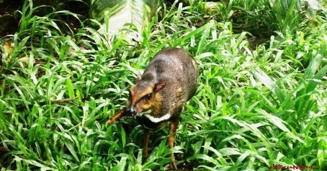 鼠鹿 pelanduk