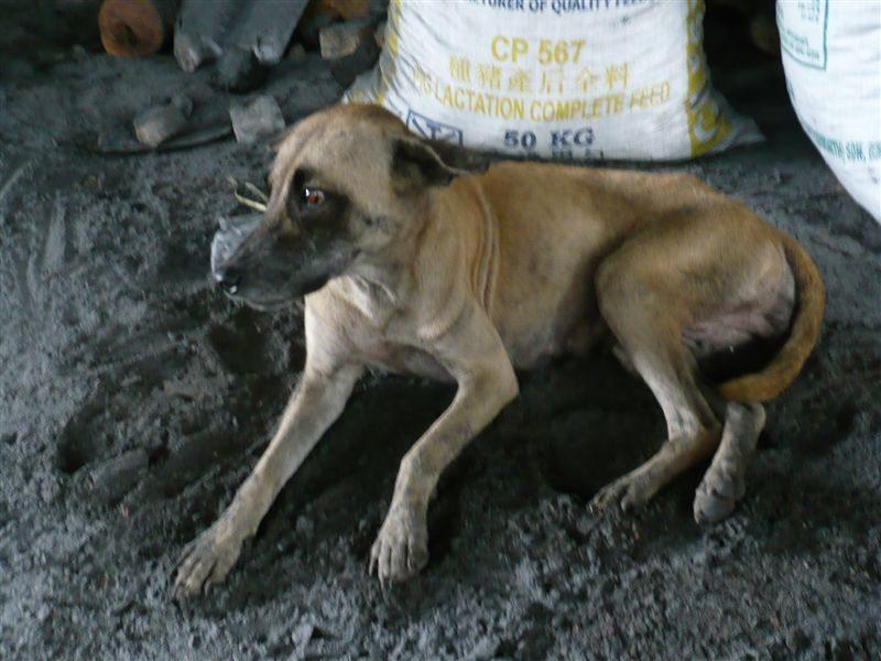 这里的狗狗都是灰灰的。