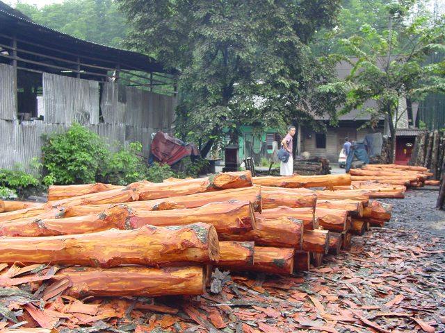 削了树皮的红树干,正排队着,等待成为炭的那一刻。