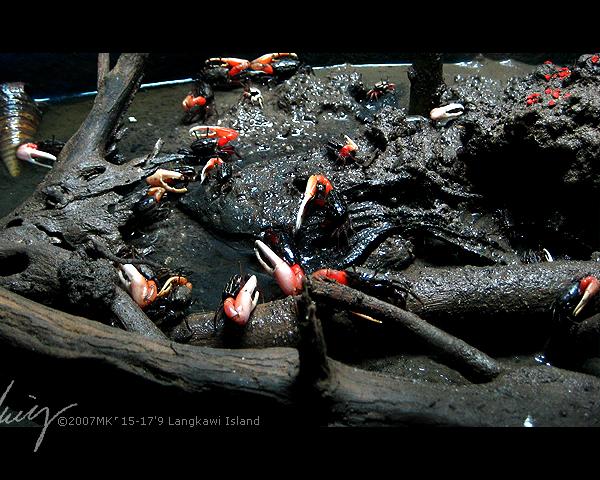 沼泽中的小螃蟹。